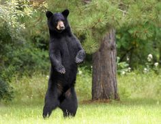 black-bear-standing-wallpaper-2