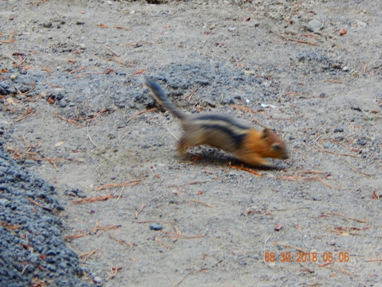 Chipmunks everywhere!